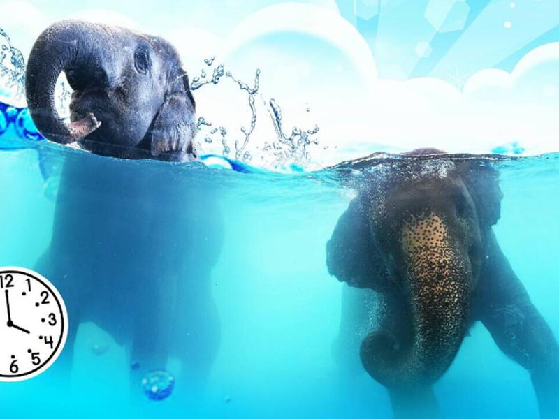 大象游泳表演