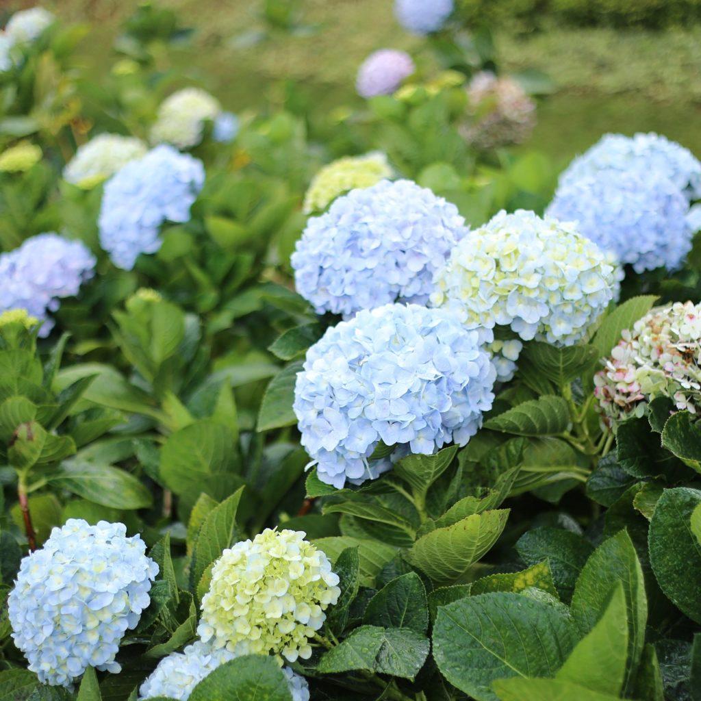 大叻繡球花園
